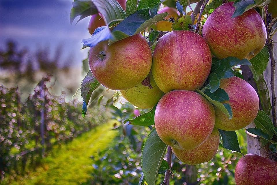 Przepiękne i smaczne jabłka kupisz na naszym placu - khrybitwy